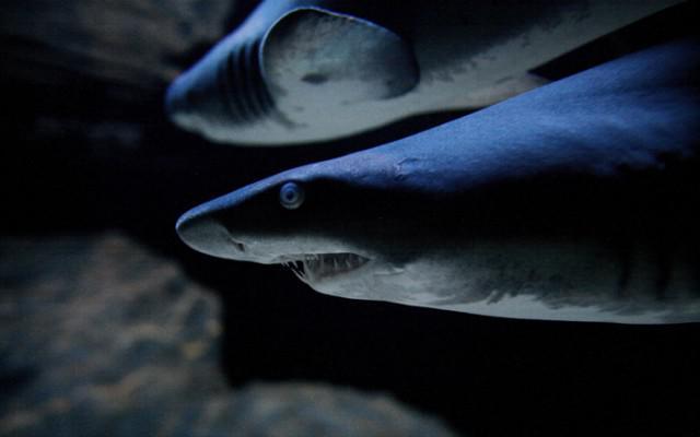 shark-640x400
